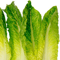 Romaine lettuce for maror